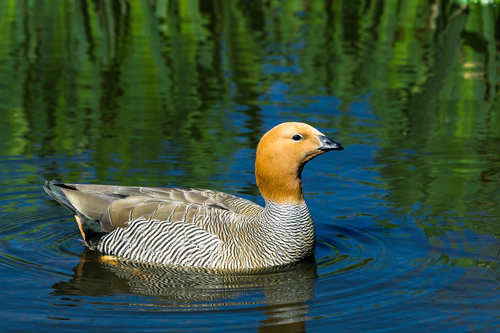 Ruddy Headed Goose (South America)