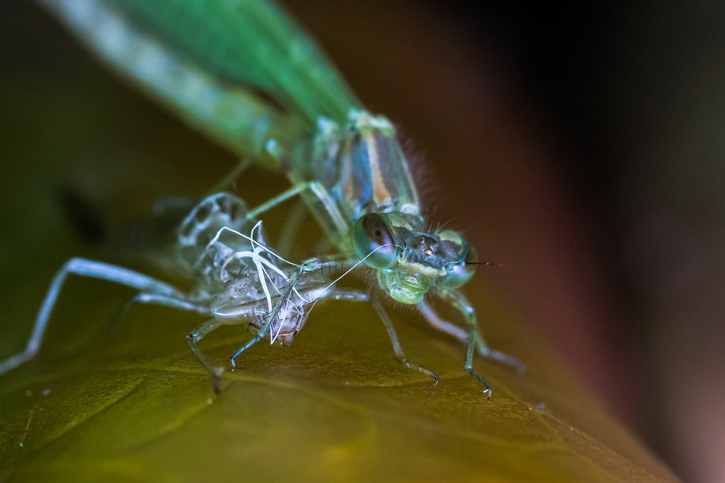 Damselfly and Larval Shell